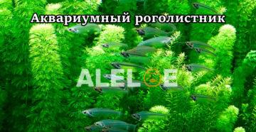 Аквариумное растение роголистник