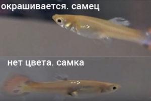 Мальки гуппи: самец и самка