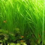 Валлиснерия — содержание растения в аквариуме