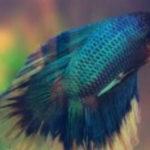 Рыбка петушок: фото (32 штуки)
