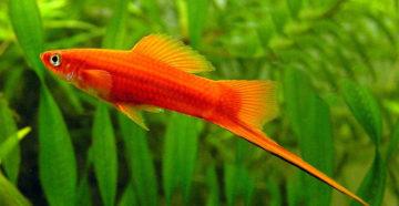Фото рыбки меченосца
