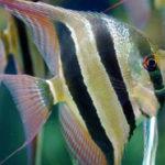 Совместимость скалярий с другими рыбками