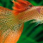 Вопрос: Совместимы ли гуппи и золотые рыбки?