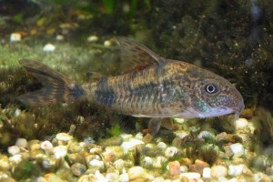 Рыба коридорасы фото