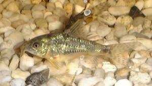 Аквариумные рыбки фото коридорасы