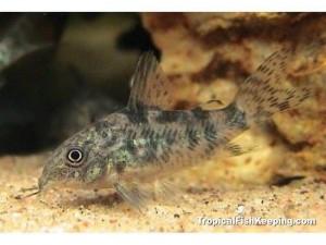 Рыбка крапчатый сомик фото