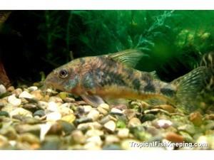 Коридорасы рыбки фото